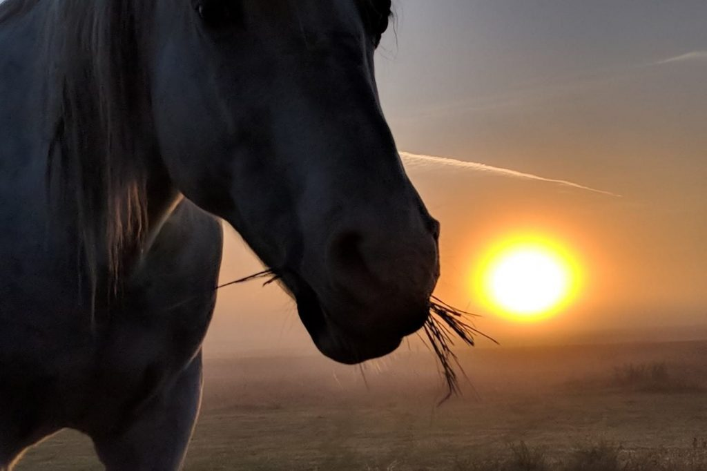 White horse chewing hay in a beautiful sunset.