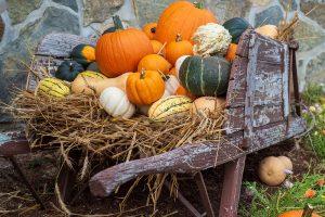 Wheelbarrow full of bright orange pumpkins, delicata, buttercup, kabocha, butternut and acorn squashes.