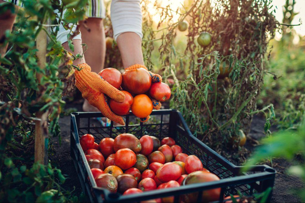 Final harvest of veggies in the garden