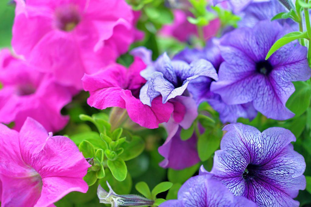 Purple and pink petunias up close
